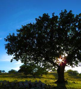 Ett träd med solen som går ner bakom trädet